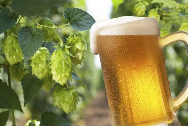 Cây hoa bia, nguyên liệu chính để tạo nên bia đồng thời là khắc tinh của hơn 60 loại tế bào ung thư khác nhau.