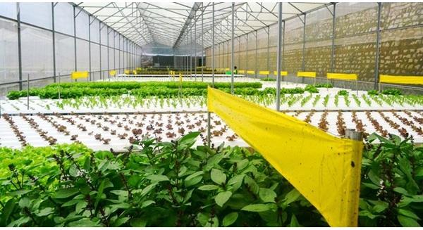 Rau thủy canh thu hoạch 15 vụ mỗi năm, ăn không cần rửa