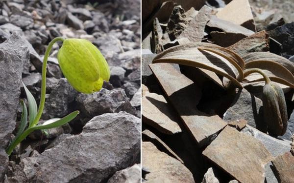 Bị thu hái quá nhiều, loài thực vật này đã tiến hóa khả năng 'ngụy trang' để tránh bị con người nhìn thấy
