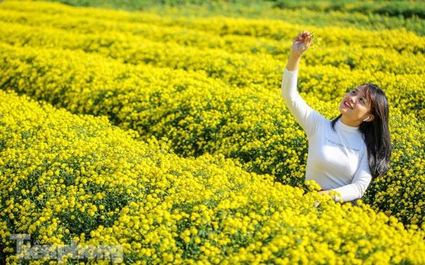 Ngất ngây cánh đồng Cúc tiến vua vàng rực gần Hà Nội