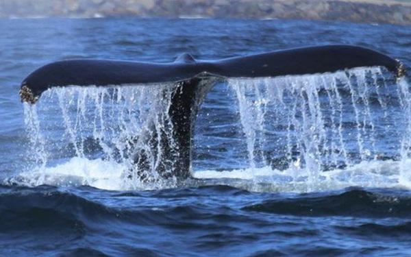 Tại sao cá voi vung đuôi lên xuống, nhưng cá mập lại vung đuôi sang hai bên?