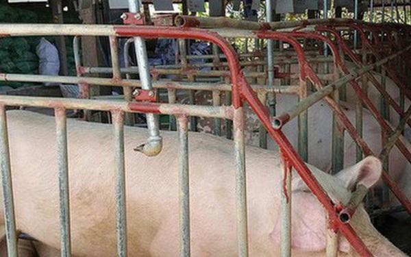 Giá lợn hơi xuống quanh mức 80.000 đồng/kg, nhiều địa phương tái đàn 100%