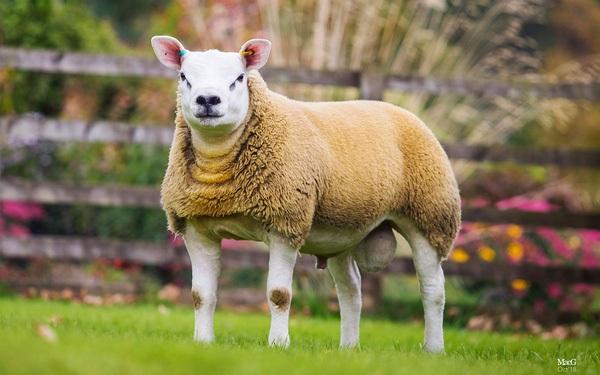 Với giá bán lên tới gần 11,4 tỷ đồng, con cừu đắt hơn cả siêu xe Ferrari này có gì đặc biệt?