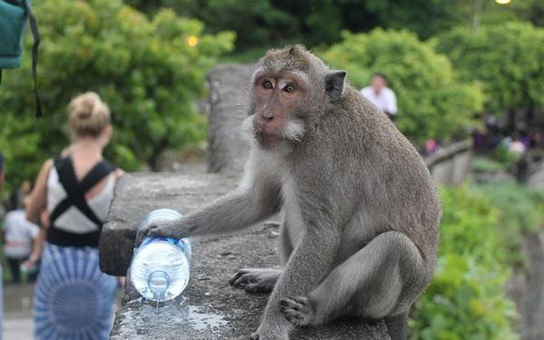 Nhờ khách du lịch, loài khỉ Bali tiến hóa chỉ thích cướp đồ đắt tiền