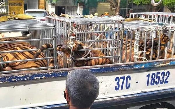 Nóng: Phát hiện cơ sở nuôi nhốt hổ trong nhà dân ở Nghệ An, thu giữ 16 con hổ lớn