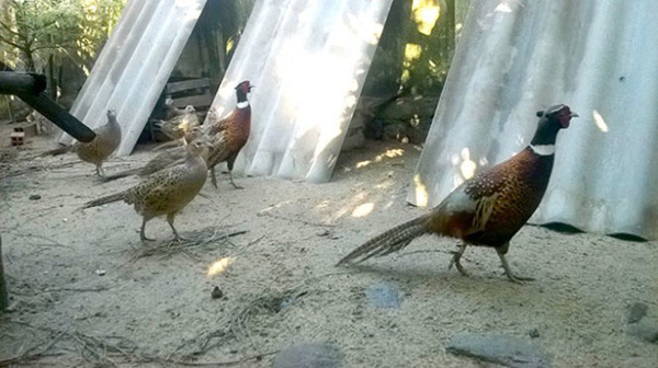 Khá nhờ nuôi hàng độc: Gà rừng, chim trĩ - làm chơi ăn thật