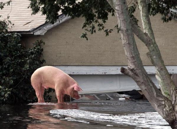 Nuôi lợn kiểu Mỹ: Hướng tới công nghệ cao