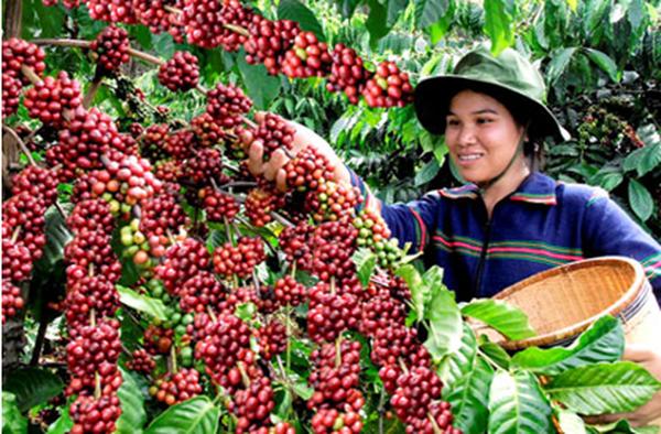 Biện pháp đối phó nào cho ngành cà phê Việt Nam trước biến đổi khí hậu? (P2)