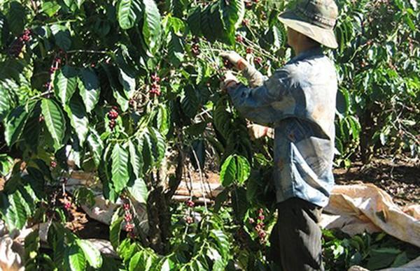 Starbucks và nỗi buồn cà phê Việt