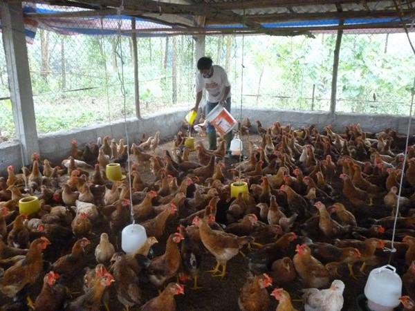 """Gà công nghiệp """"rẻ như bèo"""", nguy cơ phải bán tháo trại gà chốt lỗ"""