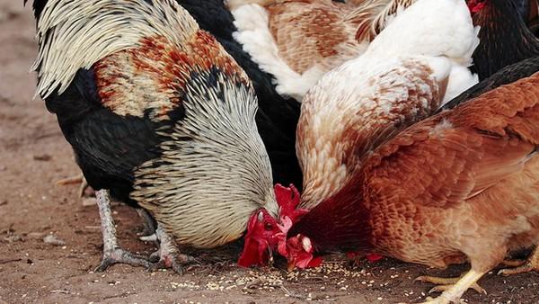 Những toan tính của Hòa Phát với ngành thức ăn chăn nuôi