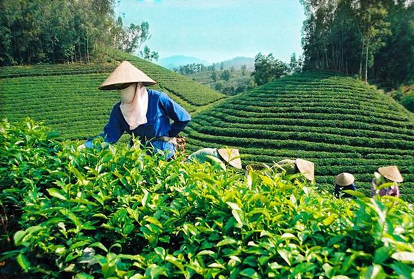 Doanh nhân Hà Thúy Linh: Đeo đuổi trà Ô Long suốt đời
