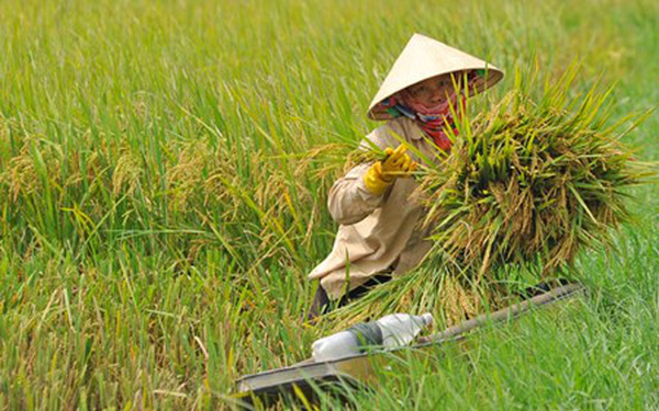 """""""Thủ phạm"""" làm nông nghiệp sụt đà tăng trưởng là… lúa gạo"""
