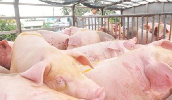 """""""Trong 3h đồng hồ có 14 xe lợn béo được xuất sang Trung Quốc"""""""