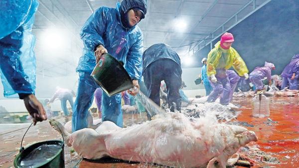 Chất cấm trong chăn nuôi: Nhập từ Trung Quốc, dùng tràn lan