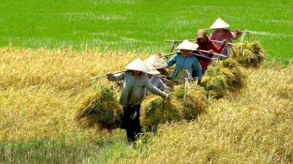 [Infographic] Nghịch lý hạt gạo: 70% lợi nhuận thuộc về thương lái, cò lúa và doanh nghiệp
