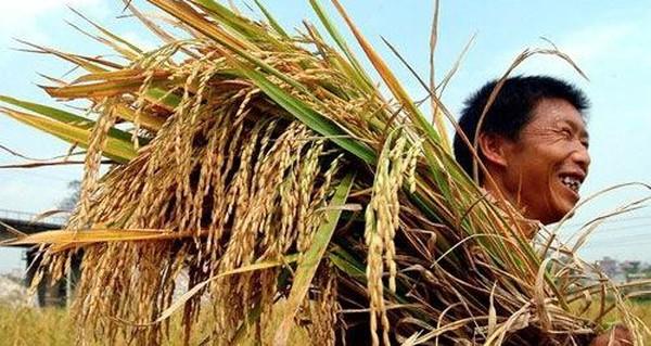 Gạo Việt nhưng phải dùng bao bì nước ngoài để bán trong siêu thị?