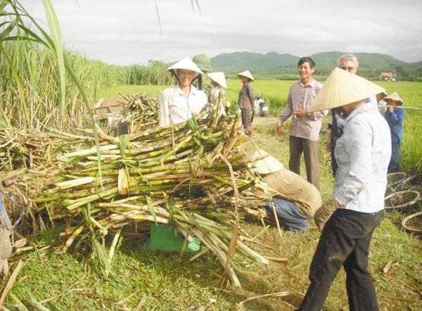 """""""Truy"""" điểm yếu của ngành mía đường"""
