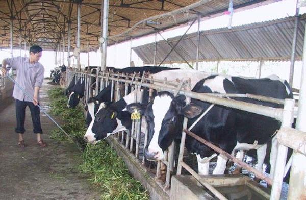 Chăn nuôi – thua từ sân khách đến sân nhà