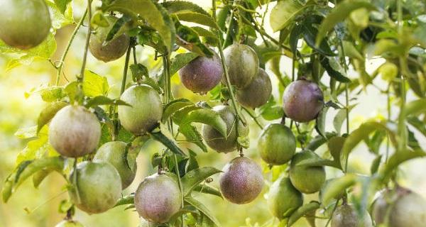 """""""Đổ xô"""" trồng cây ăn quả tại Gia Lai"""