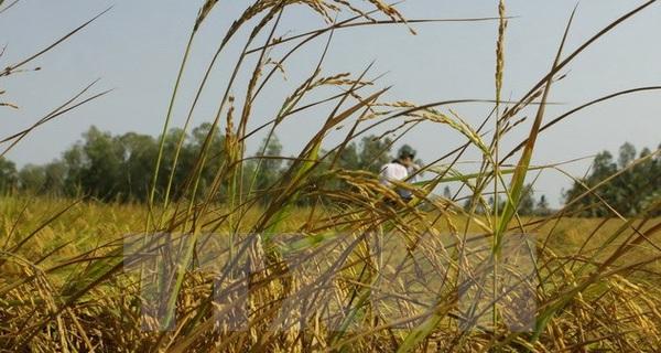 Doanh nghiệp xuất khẩu gạo đang mất lợi thế cạnh tranh về giá bán