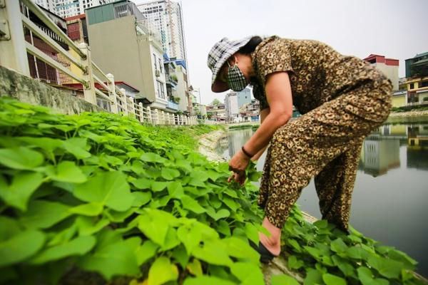 Sợ thực phẩm bẩn, dân Hà Nội tận dụng từng tấc đất trồng rau
