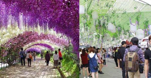 Lễ hội hoa tử đằng ở Hà Nội: Nỗi thất vọng khi thực tế khác xa hình ảnh quảng cáo