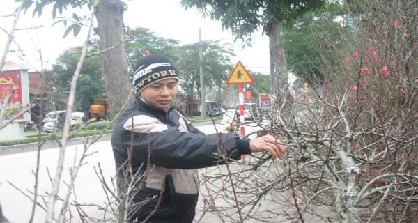 Đào rừng, đào cổ bạc triệu đổ về Hà Nội