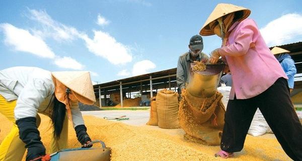 Gạo Việt thua Lào, Campuchia, chỉ xuất đi... Trung Quốc