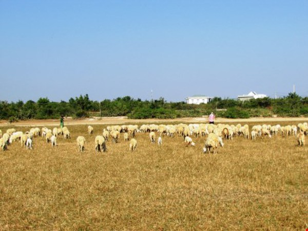 Hạn hán ở Ninh Thuận: Làm rẫy dưới lòng hồ vẫn thiếu nước