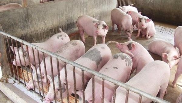 Dùng kháng sinh cho chăn nuôi hại gì?