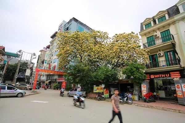 Chiêm ngưỡng cây hoa bún 300 tuổi, mọc duy nhất tại cổng ngôi làng cổ ven Hà Nội
