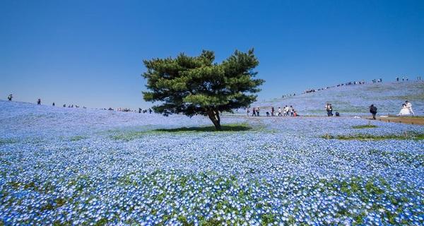 Vẻ đẹp huyền ảo được tạo nên từ 4,5 triệu bông hoa mắt xanh ở Nhật Bản