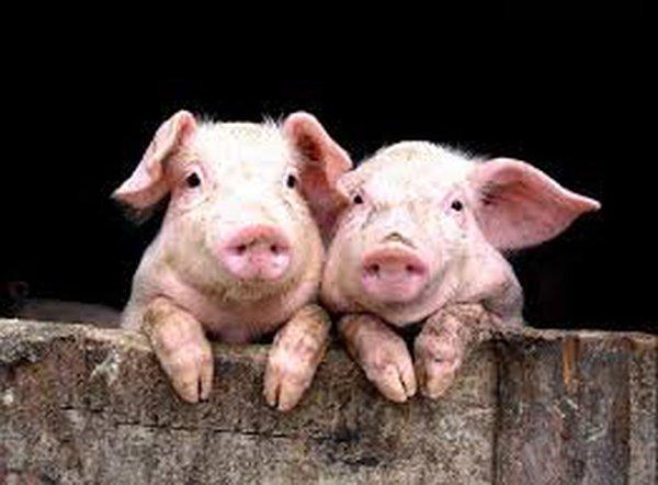 """Chính phủ mới sẽ làm gì với """"lợn nuôi chất cấm, gà nhuộm vàng ô"""" để bảo vệ người dân?"""