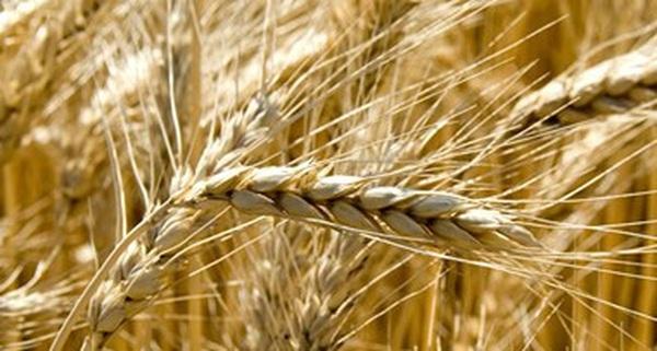"""Bloomberg: Nga đã vượt mặt Mỹ trong """"cuộc chiến lúa mì"""""""