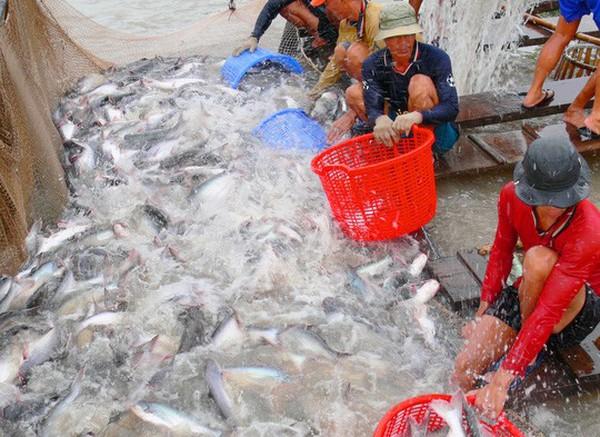 Nghịch lý cá tra