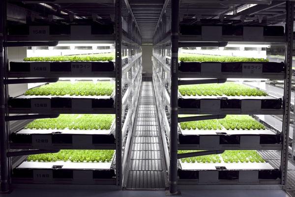 Nông dân trồng rau cũng sắp thất nghiệp, robot làm hiệu quả hơn quá nhiều