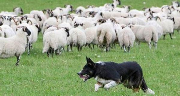 Chuyện con sói và bầy cừu: Bài học kinh doanh ý nghĩa ai cũng cần biết để không bị vấp ngã