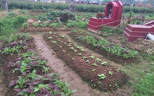 Hà Nội: Rau ở nghĩa địa xanh tốt không cần chăm bón