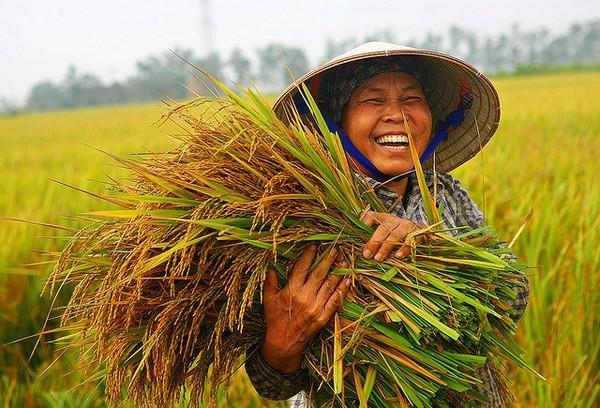 Đến năm 2020 sẽ giảm 52 nghìn ha đất trồng lúa