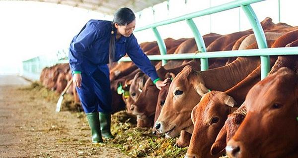 Hà Nội muốn tăng gấp đôi sản lượng bò thịt