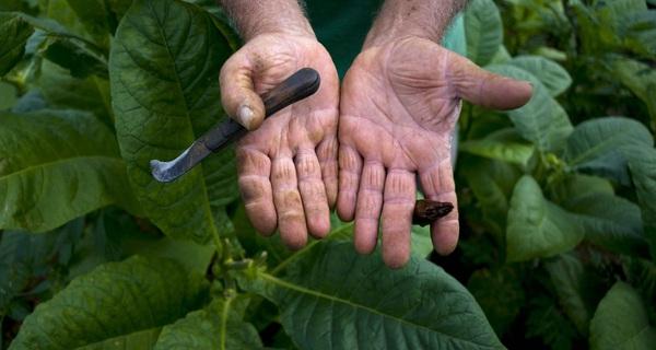 13 bức ảnh tuyệt đẹp từ khi gieo hạt tới lúc đóng gói những điếu xì gà trứ danh Cuba