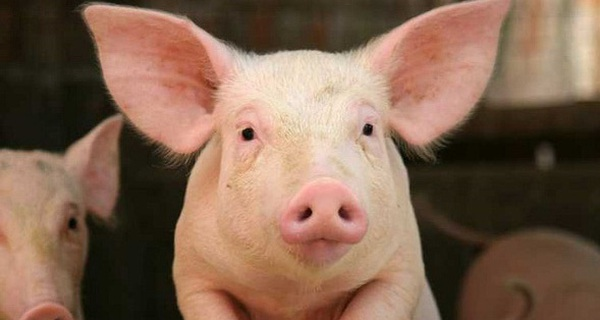 Bộ Nông nghiệp muốn Vissan, Việt Đức, Hapro Hà Nội, Saigon Co.op và quân đội chung tay 'giải cứu' thịt heo