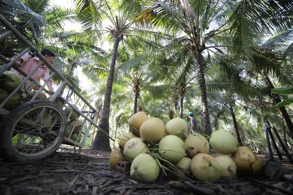 Dừa Bến Tre – Điểm sáng của bức tranh nông sản Việt trên trường quốc tế