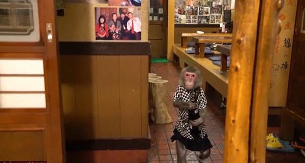Chuyện lạ có thật: Nhà hàng Nhật Bản cho khỉ làm bồi bàn