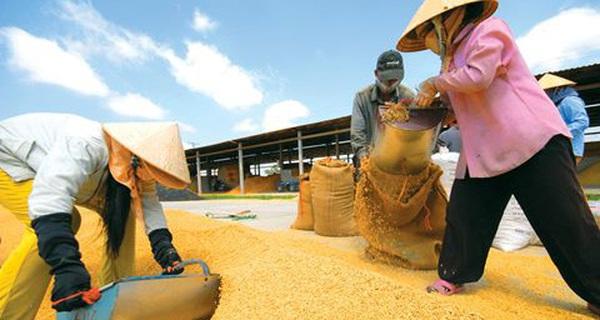 Nước sản xuất gạo lớn thứ 4 thế giới muốn nhập khẩu khẩn cấp 300.000 tấn gạo của Việt Nam
