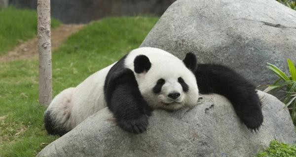Các nhà khoa học đã tìm ra lý do vì sao Gấu trúc lại có 2 màu đen và trắng