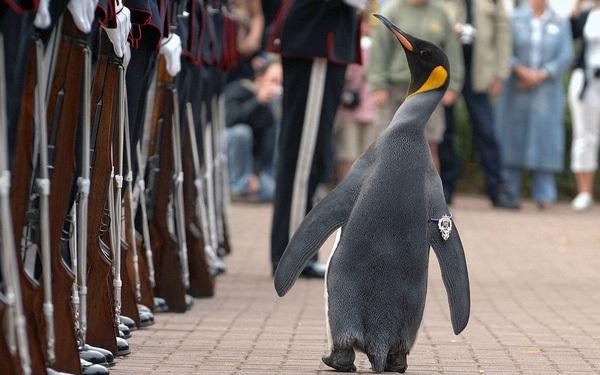 Có thể bạn chưa biết: Đây là chú chim cánh cụt đã được phong tước Hiệp sĩ