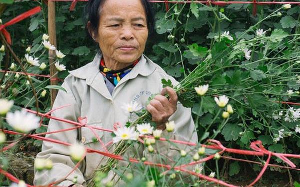 Đằng sau những gánh cúc họa mi trên phố Hà Nội là nỗi niềm của người nông dân Nhật Tân: Không còn sức nữa, phải bỏ hoa về nhà!