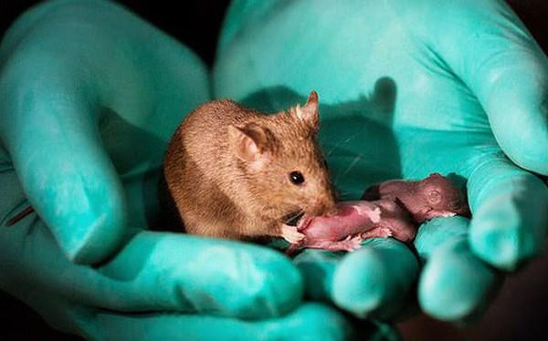 Các nhà khoa học Trung Quốc tạo ra được chuột con từ 2 con chuột cái, không cần đến con đực